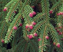 Abete Rosso foglie aghiformi
