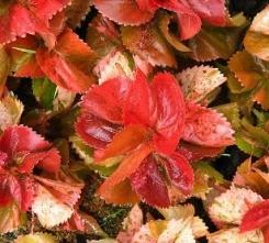 Acafalia foglie colori intensi
