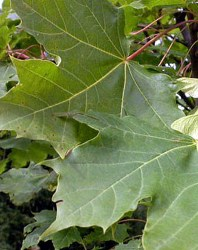 Acero Alpino foglie lobate