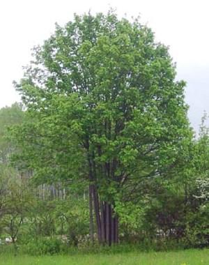 Acer Opulifolium