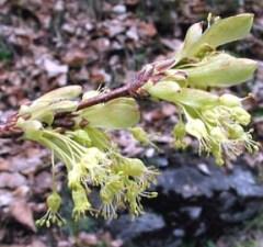 Acero alpino fiori ermafroditi
