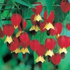 Acero da fiore fiori penduli