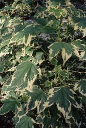 Acero da fiore foglie screziate