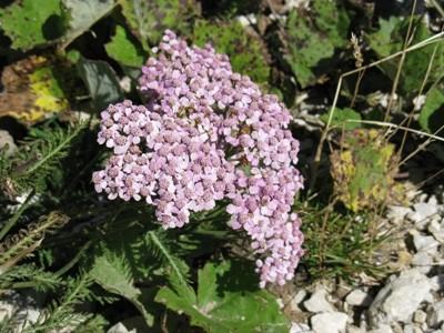 Achillea Millefoglie Asteraceae