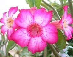 Adenium fiori 5 petali