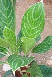 Aglaonema foglie lanceolate