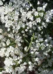 Aglio fiore a sei petali