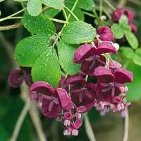 Akebia Quinata fiori profumati