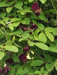 Akebia quinata foglie palmate