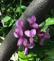 Albero di Giuda fiori ermafroditi