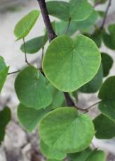 Albero di Giuda foglie lucide