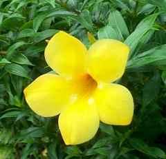Allamanda fiore a trombetta