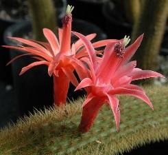 Aporocactus fiore sgargianti