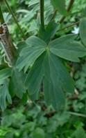foglie trilobate