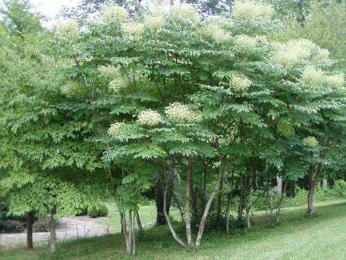 Aralia Araliaceae
