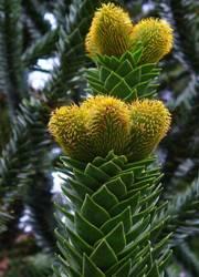 Araucaria fiori sferici
