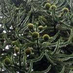 Araucaria