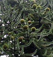 Araucaria foglie appuntite