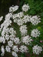fiori ombrelliformi