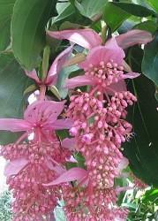 Lu0027Ardisia è Un Arbusto Sempreverde, Appartenente Alla Famiglia Delle  Myrsinaceae; Essa è Contraddistinta Da Foglie In Genere Cuoiose, Poste In  Modo ...