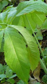 foglie molto grandi
