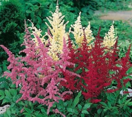 Astilbe Saxifragaceae