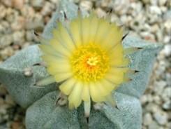 Astrophytum fiori grandi