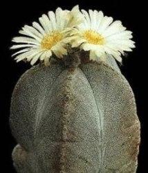 Astrophytum fusti macchiati