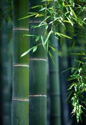 Bambù fusto flessibile