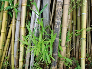 Bamb for Semi di bambu
