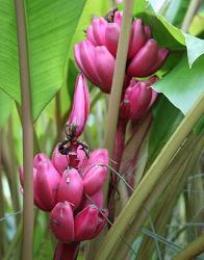 Banan rosa fusti eretti