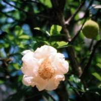 Baobab fiore bianco