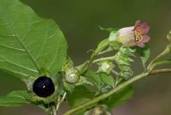 Belladonna frutti bacche