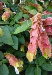 Beloperone foglie lucide
