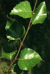 Betulla foglie ovali