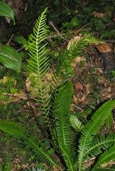 Blecnum foglie pennate