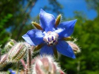 Borragine fiori ermafroditi