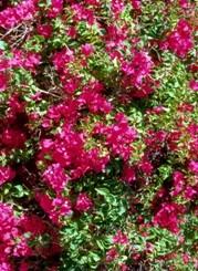 Bougainville arbusto