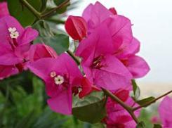 Bouganville fiore brattee