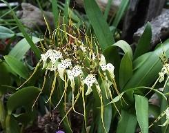 Brassia pseudo bulbi