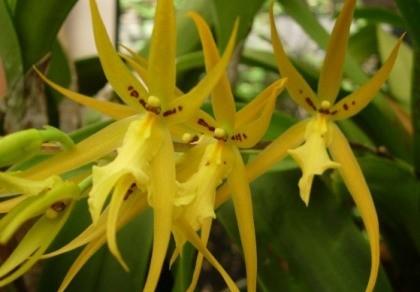 Orchideceae