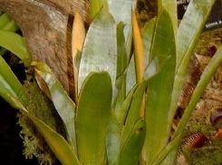 Brocchinia foglie lanceolate