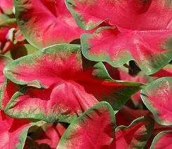 Caladio foglie brattee