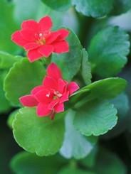 Calancola fiore rossi