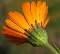 Calendula fiori riuniti in capolini