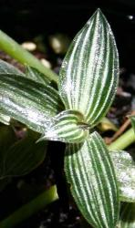 foglie lanceolate