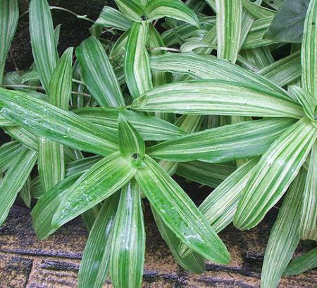Callimaceae