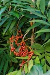 Camarodea frutti bacche