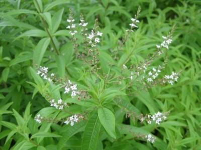 Lippia Citriodora, Verbenaceae