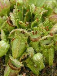 Cephalotus pianta eterofilla